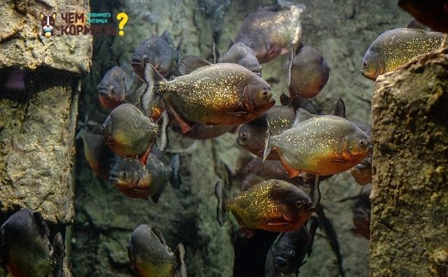 Пираньи в аквариуме